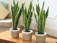 Sansevieria trifasciata is also commonly called the snake plant or the mother in law's tongue. It is a very tolerant indoor plant that it is easy to care Sansevieria Trifasciata, Cactus Plants, Garden Plants, Plants Indoor, Hanging Plants, Foliage Plants, Window Plants, Backyard Plants, Pond Plants