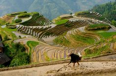 Chinese farmer preparing field for planting rice, Seven Stars and Moon viewpoint, Dragon's Backbone Rice Terraces, near Zhuang village of Ping An.,Guangxi Province, China. Zhuang ethnic minority village is located high in the Longji mountains. Rice terraces were constructed by the Zhuang minority people. With construction beginning in the Yuan dynasty (1271-1368) and lasting over 400 years, the Dragon's Backbone rice terraces now cover over 16,000 acres.