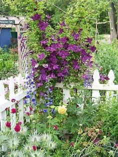 clematis violet charm in my previous garden- paired with golden celebration rose and blue delphinium by R&M