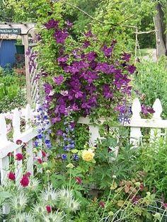 clematis violet