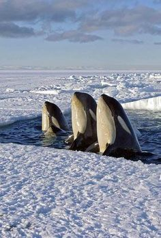 3 Orca whales surfacing near the ice, a behavior called spyhopping