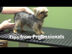 "How to Groom A Yorkshire Terrier ""Yorkie"" (Puppy Cut) - Do-It-Yourself Pet Grooming - YouTube"