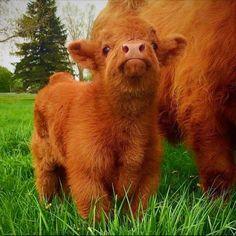 Die etwas grösseren Tierbabys: So süss sind Schottische Hochlandrinder This is not steak or hamburgers. This is a beautiful living breathing animal that happens to be a cow. Die etwas grösseren Tierbabys: So süss sind Schottische Hochlandrinder Cute Baby Cow, Baby Cows, Cute Cows, Baby Farm Animals, Baby Donkey, Baby Elephants, Wild Animals, Fluffy Cows, Fluffy Animals