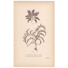 Hervey Sea Mosses antique 1st edition nature print, Pl 7 Marine Algae  | eBay