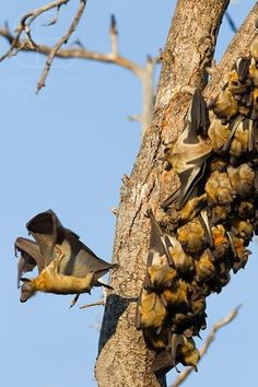 Wildlife Nature Photography Straw Coloured Fruit Bat Migration Zambia Straw-Coloured Fruit Bat (Eidolon helvum) Kasanka National Park Zambia Africa vertical tree trunk many holding on clump sleeping taking off jumping wings Bat Species, Fruit Bat, Wildlife Nature, Primates, Animal Pictures, Nature Photography, National Parks, Wings, Africa