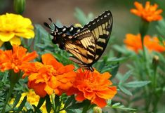 Shop Swallowtail Butterfly Orange Flowers Photo Square Wall Clock created by TheresasPhotography. Orange Flower Photos, Orange Flowers, Flower Pictures, Butterfly Plants, Butterfly Bush, Butterfly Photos, Mexican Sunflower, Most Beautiful Butterfly, Photos Free