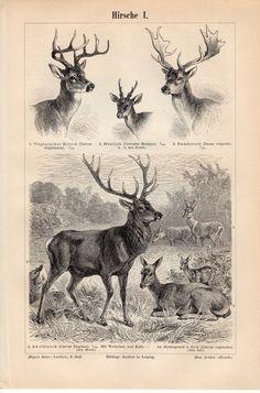 1894 Antique Deer Print, Deers, Cervidae, Virginia deer, Barking Deer, Fallow Deer, Red deer, Cervus, Reindeer, Caribou, Moose, Elk