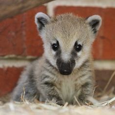 Baby Coati / Coatis belong to the larger Raccoon family, which includes 17 species, all native to the Americas.  This species is native to Arizona, Mexico, Central America, Colombia, and Ecuador.