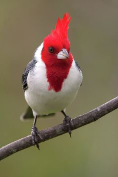 Red-crested Cardinal by Pablo Rodriguez Merkel.