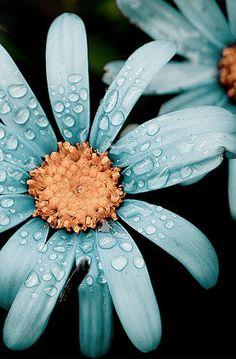 :::: PINTEREST.COM christiancross ::::    Sparkling Blue Daisy.  +++ FLOWER OR DEW ?  SINGER OR SONG ?
