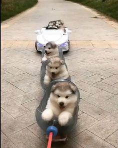 band on the run from bad guys.. Baby Animals Super Cute, Cute Little Animals, Cute Funny Animals, Fluffy Dogs, Fluffy Animals, Cute Animal Videos, Cute Animal Pictures, Cute Husky Puppies, Alaskan Malamute Puppies