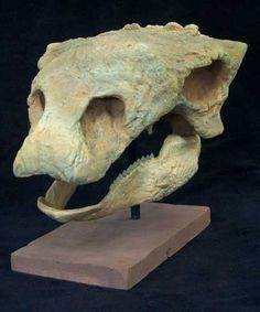 Gastonia Skull Cast replica of a juvenile Gastonia Burgei ankylosaur.//