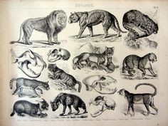 1859 Antique print of different species of Felines, vintage Rare Wild cats engraving,  oddity Lion Tiger Leopard Lioness Lynx  Serval Hyena. by LyraNebulaPrints on Etsy https://www.etsy.com/listing/192095093/1859-antique-print-of-different-species