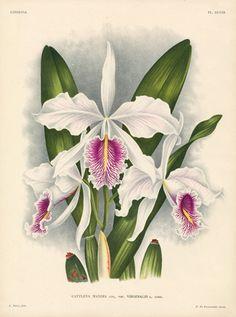 Linden Orchid Prints Lindenia 1885
