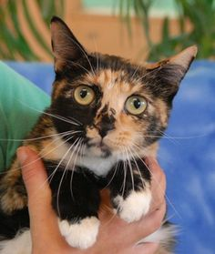 SALLY~ <3  Earnest little girl, gorgeous calico shorthair, spayed, 4 yrs. She has a very sweet, loving nature.  A gentle home is ideal for her.  Fine w/ other cats! Nevada SPCA 4800 W. Dewey Drive, Las Vegas, NV 89118
