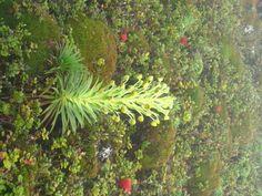 Rare greensword in mountain bog, west Maui Hawaiian Plants, West Maui, Mountain, Herbs, Gallery, Roof Rack, Herb, Mountaineering