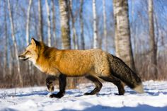 red fox side view - Google Search