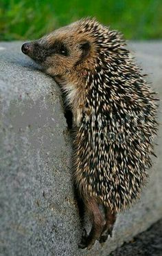 Facts About Hedgehog Pet Hedgehog Pet, Cute Hedgehog, Hedgehog Tattoo, Nature Animals, Animals And Pets, Beautiful Creatures, Animals Beautiful, Cute Baby Animals, Funny Animals