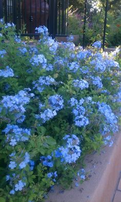 Garten PLUMBAGO BLUE loves our heat and extreme humidity. Florida Landscaping, Landscaping Plants, Front Yard Landscaping, Florida Gardening, Garden Shrubs, Shade Garden, Outdoor Plants, Outdoor Gardens, Backyard Plants