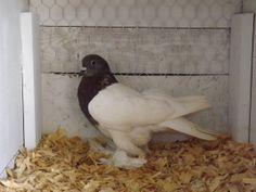 Saxon Breast pigeon