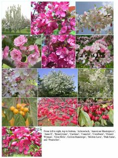 Flowering Crab Apple.  Malus selections.  Size: From 6 to 30 feet tall and wide.  Zones: 3-8.  Versatile, small, ornamental trees with colorful fragrant blooms usually in May.  Standout Varieties: 'Prairiefire' has dark pink flowers, reddish-purple foliage, and great disease resistance; 'Centurion' has rose-pink flowers, an upright shape, great disease resistance; 'Sugar Tyme' has upright, oval shape, and blooms prodigiously with pink buds opening to white and brilliant red, berrylike fruit.