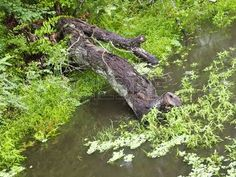 Fallen log over water
