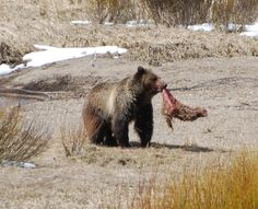Meal time! A grizzly tearing into some meat near Swan Lake Flat in Yellowstone.