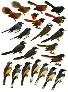 Family Rhipiduridae (Fantails) [3] - Handbook of the Birds of the World - H. Douglas Pratt