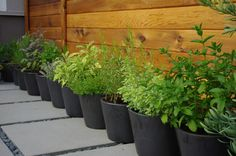 """Container Gardening   The trick to planting herbs in containers is to match the pot size to the adult size of the plant. Smaller herbs — like chervil,chives, cilantro, marjoram, oregano, parsley, sage, savory, tarragon and thyme — can be grown in containers that are 6 to 12"""" deep and preferably up to 12"""" wide. Basil, lavender and lemongrass prefer 16 - 18"""" containers at a minimum, and rosemary and dill do best in even larger pots."""