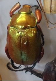 A gold scarab beetle from the Oxford University natural History Museum. Sensational bling gold colouring!