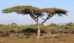 Alaska boom Giraffe Painting, Kilimanjaro, Alaska, South Africa, Beautiful Pictures, Wildlife, Country Roads, Trees, African