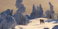 Lonely reindeer in the wilds. Picture by Lapland Safaris