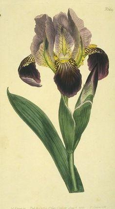 iris botanical print