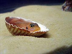best site_shell-dwelling-cichlid