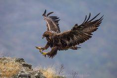 Golden Eagle photography Bulgaria Iordan Hristov