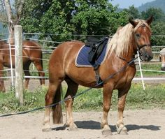 Werner - Noriker gelding - 2009 Draft Horse Breeds, Draft Horses, Noriker Horse, Blue Roan, Big And Beautiful, In The Heights, Animals, Ideas, Pictures