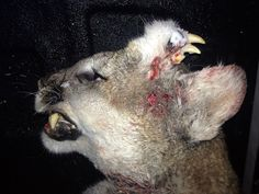 Unusual Catch: Idaho Hunter Tracks Down Mountain Lion That Has Left Wildlife Biologists Completely Stumped