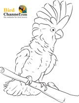 Umbrella Cockatoo Coloring Page (and many more bird coloring pages for the bird lover who loves to color)