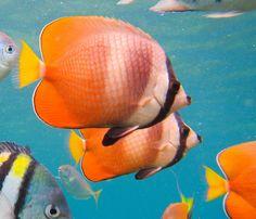 Sunburst Butterflyfish Salt And Water, Fresh Water, Colorful Fish, Ocean Life, Under The Sea, Underwater, Creatures, Seas, Nature