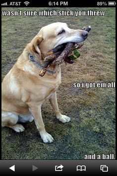 Labs and their sticks