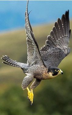 Peregrine Falcon – Wanderfalke – Wanderf … - Top Of The World Exotic Birds, Colorful Birds, Beautiful Birds, Animals Beautiful, Beautiful Pictures, Rapace Diurne, Eagle Wallpaper, Bokeh Wallpaper, Pastel Wallpaper