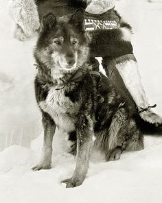 Togo (October 1913 – December 5, 1929) was the sled dog  who led Leonhard Seppala and his dog sled  team as they covered the longest distance in the 1925 relay of diphtheria  antitoxin  from Anchorage to Nome, Alaska, to combat an outbreak of the disease. The run is commemorated by the annual Iditarod dog sled race. Togo, a Siberian Husky, coat was black, brown, and gray, he weighed about 48 pounds. At the time of the serum run Togo was twelve years old. Read his amazing true story.