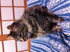 最近俺の布団の上で寝るようになった。なんか丸いな〜。すでにデブ猫?