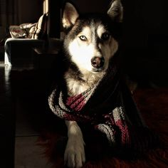 Weather's cold so I took human's scarf to warm me up! Take My, Husky, Weather, Cold, Warm, Adventure, Animals, Instagram, Animaux