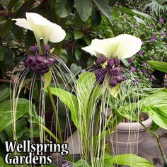 Bat plant (Tacca integrifolia) The White Bat Plant is one of the world's largest and most unusual flowers. It's strange little black flowers come in clusters of twenty to forty and resemble bats' faces, while the white bracts above resemble bats' ears. Strange Flowers, Unusual Flowers, Wonderful Flowers, Weird Plants, Unusual Plants, Bat Plant, Bat Flower, Large Flower Pots, Gardens