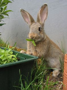 A Recipe for Rabbit Repellent