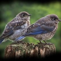 Baby bluebirds: clothed like kings!  Royal Robe Sleeper Suits! --What our son as a toddler called his pajamas.  God spares nothing to delight us!