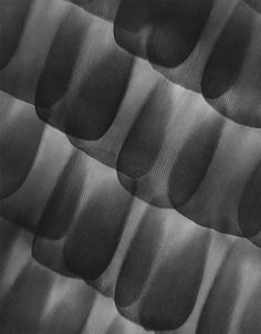 Carl Strüwe  Butterfly, Scales on Wing (Lepidoptera, Admiral. Vanessa Atalanta). Microphotograph 720:1.