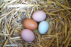 Mes poules ne pondent plus : un remède miracle tout simple pour que vos poules recommencent à produire des œufs