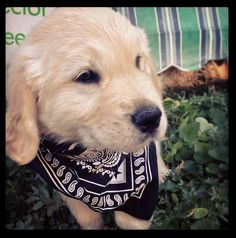 Exhibit G: This puppy in black. The handkerchief adds a nice detail to her trademark dark eyes. Baby Puppies, Baby Dogs, Dogs And Puppies, Doggies, Cute Dog Pictures, Animal Pictures, Puppy Stages, Best Dogs For Families, Retriever Puppy